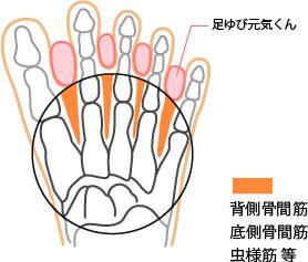 背側骨間筋、底側骨間筋、虫様筋 等と足ゆび元気くんの図