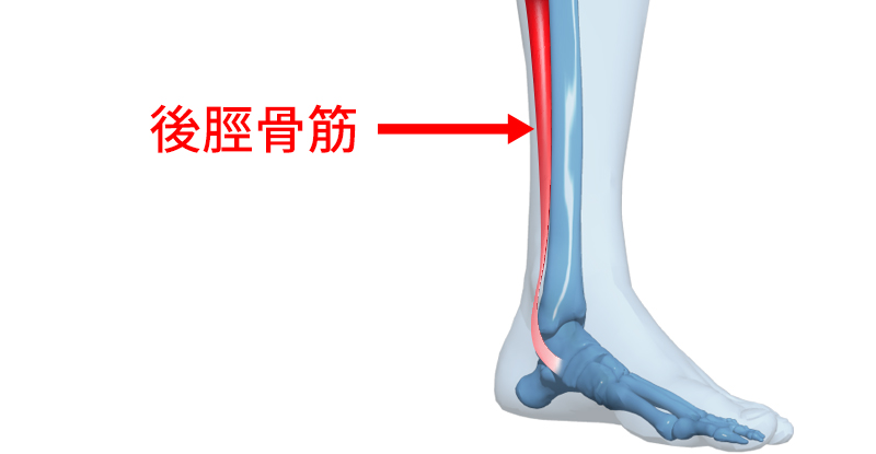 後脛骨筋のイラストCG